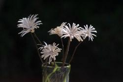 blomst-c